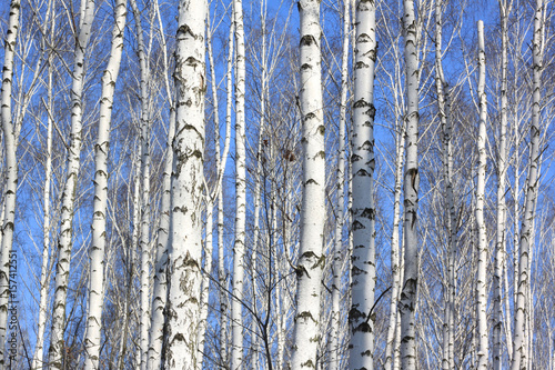 Trunks of white birches against blue sky in autumn