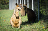 Two beautiful wallabies at the zoo, Brisbane, Australia, Travel