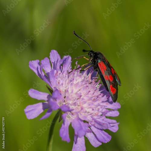 Red black beetle siting on purple wild flower on sunny summer day Poster