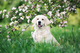 golden retriever dog posing in blooming tree - 157440751