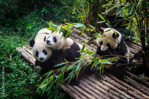 Fotobehang Panda Pandas enjoying their bamboo breakfast in Chengdu Research Base, China