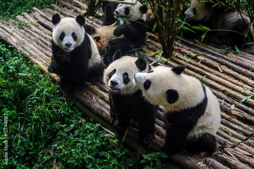 Fotobehang Bamboe Pandas enjoying their bamboo breakfast in Chengdu Research Base, China