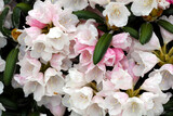 White and pink flowers of rhododendron, close-up