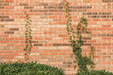Orange brick wall with ivy vine for a background.