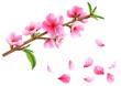 Flowering branch of peach. Vector.