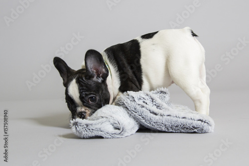 Canvas Franse bulldog French bulldog puppy