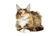 Cat looks, Maine Coon breed