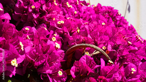 Purple flowers in Port of Peiraeus, Attica, Greece - 157520958