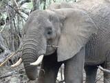 Éléphant qui mange une branche