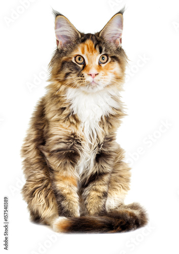 Poster Cat looks, Maine Coon breed