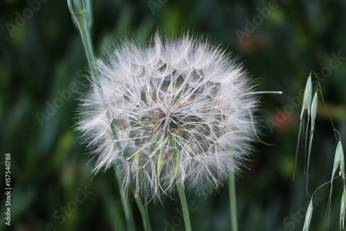 Close up photo of a dandelion on the background of nature.