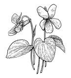 Violet illustration, drawing, engraving, ink, line art, vector - 157543130