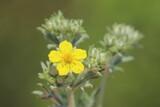 Blossom of a Potentilla argentea, a cinquefoils species - 157549988