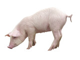 Funny little piglet, standing in full length, isolated against the white background