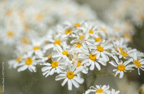 flora of Gran Canaria - Tanacetum ptarmiciflorum © Tamara Kulikova