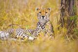 One beautiful cheetah rests at the savannah in Serengeti