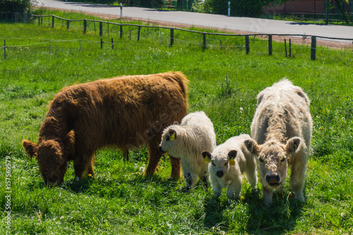 Scottish cow with calves Poster