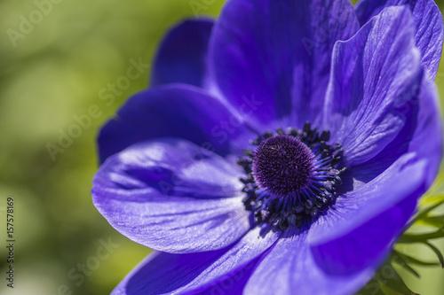 Foto op Canvas Violet Closeup Macro Shot of Blue Anemone Located in National Dutch Keukenhof Garden in Netherlands.