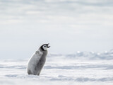 Emperor Penguin Chick on the frozen Sea