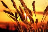 Ears of wheat in the field. Evening light - 157587194