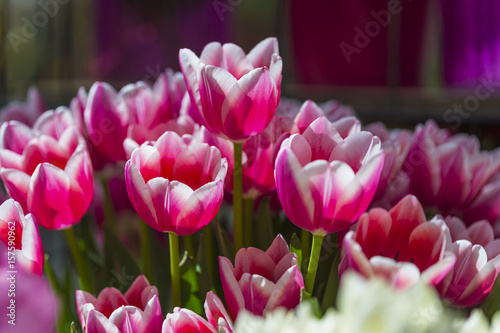 Staande foto Bordeaux Lots of Different Colorful Dutch Tulips in Keukenhof National Flowers Garden in Holland.