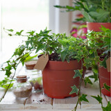 Potted plants in pots. Transplanting flowers. White background.