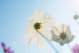 Soft focus of white cosmos flowers (Cosmos Bipinnatus) in the garden with sun flare and blurred cosmos flower on blue sky, selective focus.