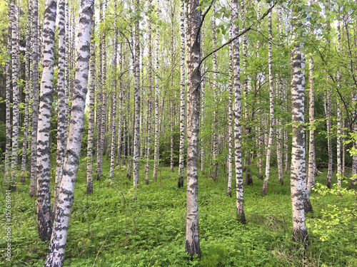 Birch forest. View filled with green.