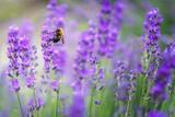 Violet lavender flowers with bee in Japan
