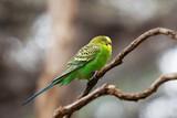 Budgerigar - song parrot perching on tree branch closeup