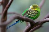 Budgerigar - song parrot perching and sleeping closeup