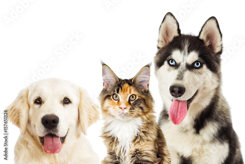 Poster Portrait of Siberian husky And cat maine coon on white background