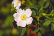 Flower of a dog rose in a rustic garden