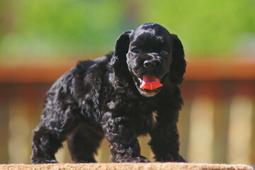Black American Cocker Spaniel puppy posing outdoors at sunny weather