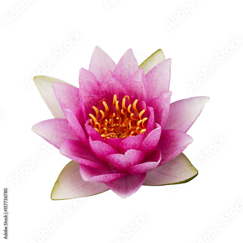 The pink lotus isolated on white background Poster