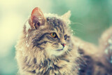 Portrait of gray siberian cat outdoors in winter