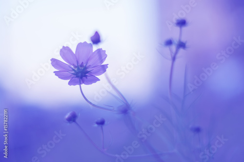 Foto op Canvas Violet Flower kosmeya on the delicate background . Open air. Selective focus