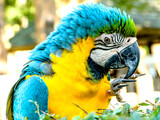 Macaw Parrot.Macaw parrot with yellow and blue feathers.