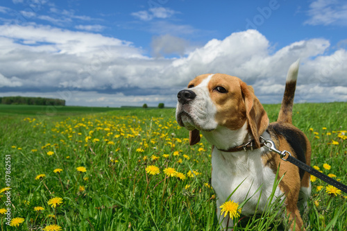 Beagle on a meadow with yellow dandelions