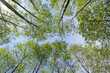 Verdant trees in a forest viewed from below in the summer.