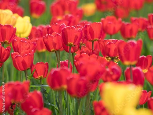 Foto op Canvas Rood チューリップの庭