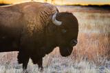 Bison profile at sunset