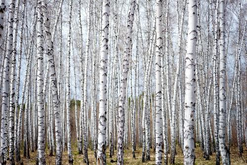 birch forest - 157982913