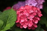 紫陽花と水滴