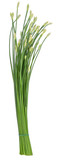 Onion Flower Stem isolated on white background