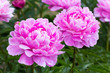 pink peony grows on a flower bed