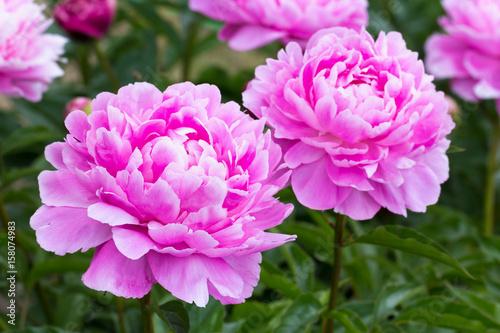 różowa piwonia rośnie na klombie