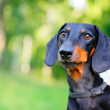 Portrait of black and red dachshund against nature background