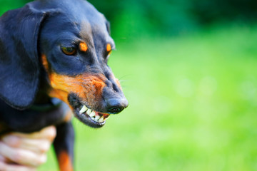 Aggressive black smooth-haired dachshund bared its teeth