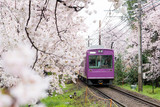View of Kyoto local train traveling on rail tracks with flourishing cherry blossoms along the railway in Kyoto, Japan. - 158155762